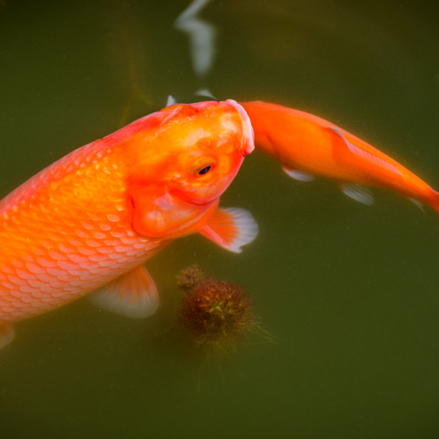"""""""Two fish swimming on the lake surface."""" stock image"""