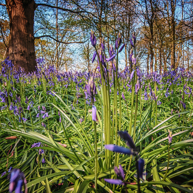 """Bluebell Marvel 2015"" stock image"