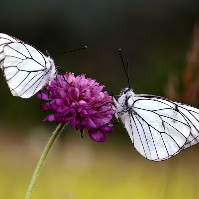 """""""Two butterflies"""" stock image"""