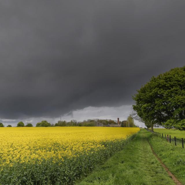 """Stormy Sky Footpath through Oil Seed Rape Crop Field"" stock image"