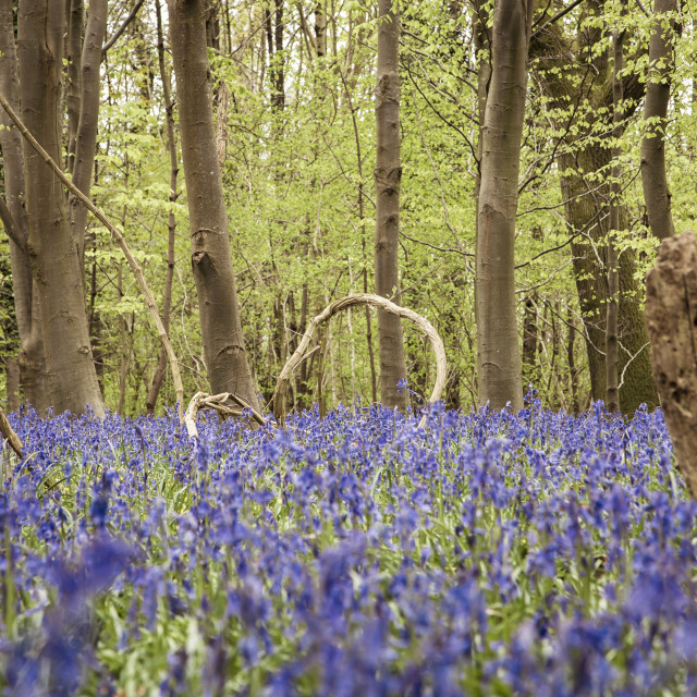 """Bluebells in a Beech Woodland"" stock image"