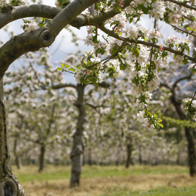"""Somerset cider apple blossom"" stock image"