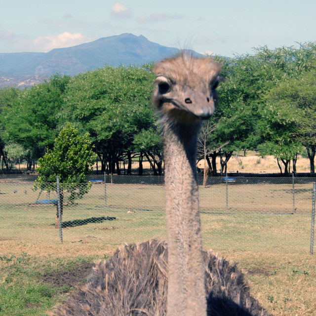 """Ostrich"" stock image"