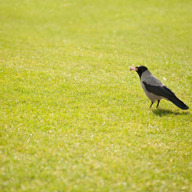 """Hooded crow bird gathering hay"" stock image"