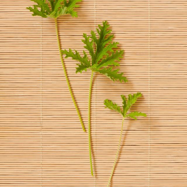 """""""Pelargonium citrosum cut three leaves"""" stock image"""