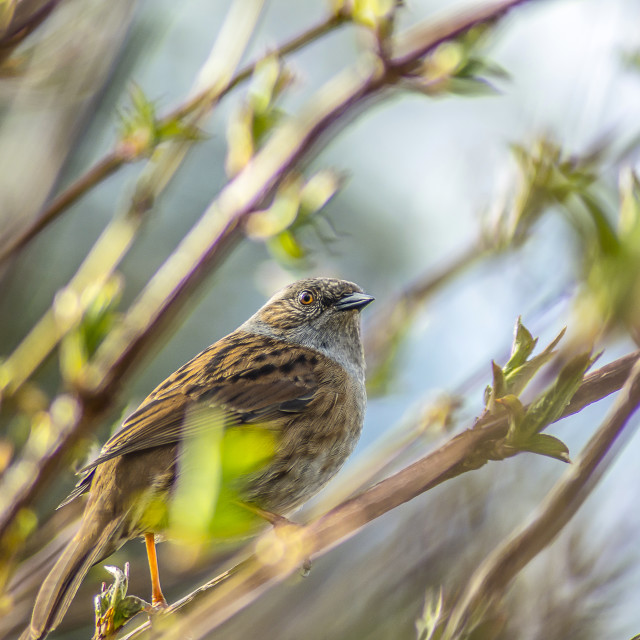 """Dunnock Bird"" stock image"