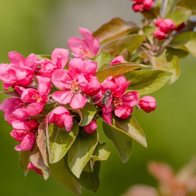 """Paradise Apples Flowers"" stock image"