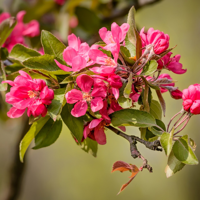 """Paradise Apples Flowers"" stock image"