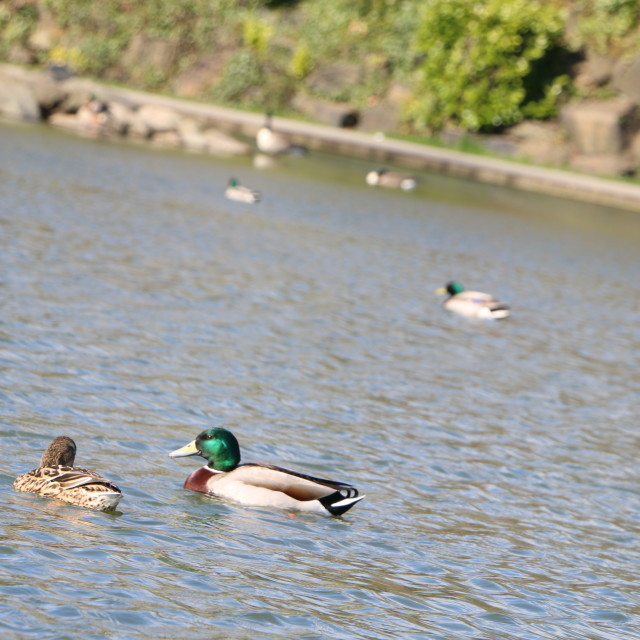 """Happy Ducks"" stock image"