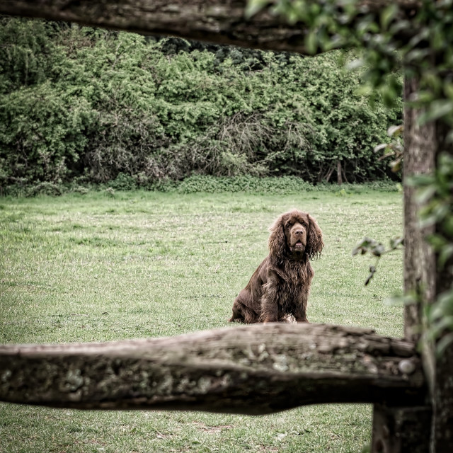 """Sussex Spaniel framed by a gate"" stock image"