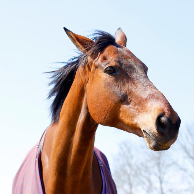 """Elegant Chestnut or Bay Horse Head"" stock image"