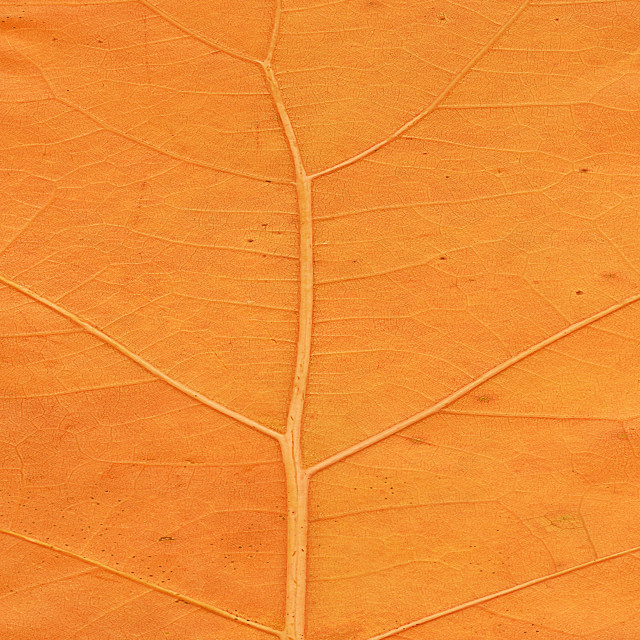"""Orange leaf close up"" stock image"