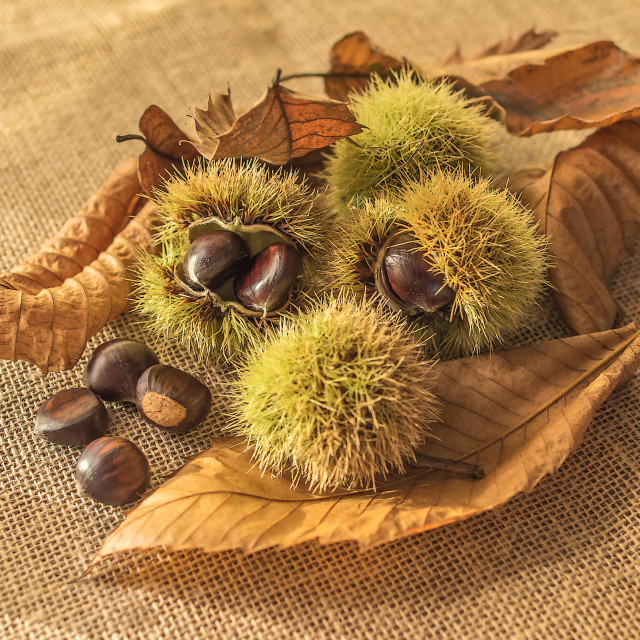 """Sweet Chestnut"" stock image"