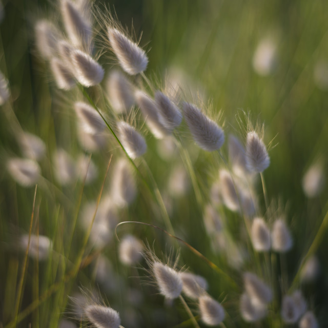 """Hares Tail Grasses"" stock image"