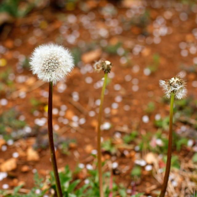 """Spring Dandelion Blow Ball"" stock image"