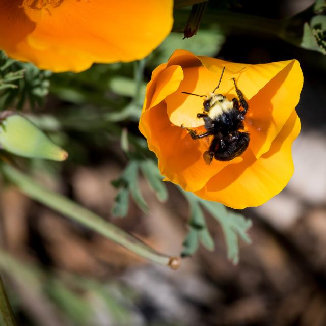 """California Poppy and Carpenter Bee"" stock image"