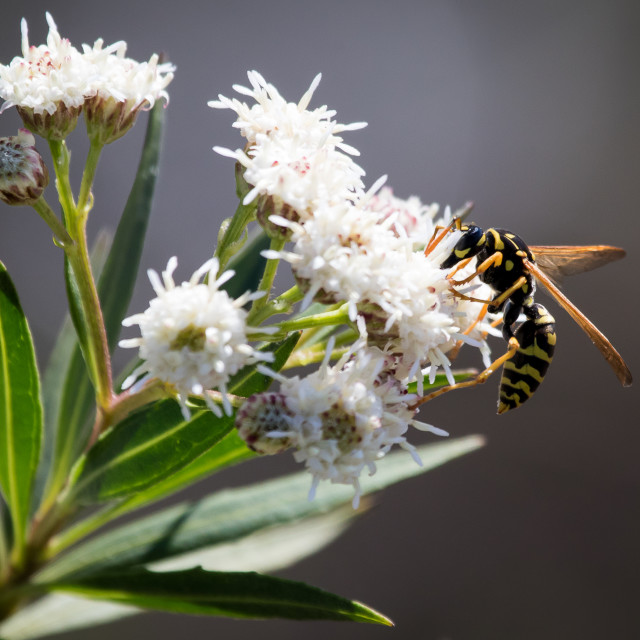 """Wasp Pollinating"" stock image"