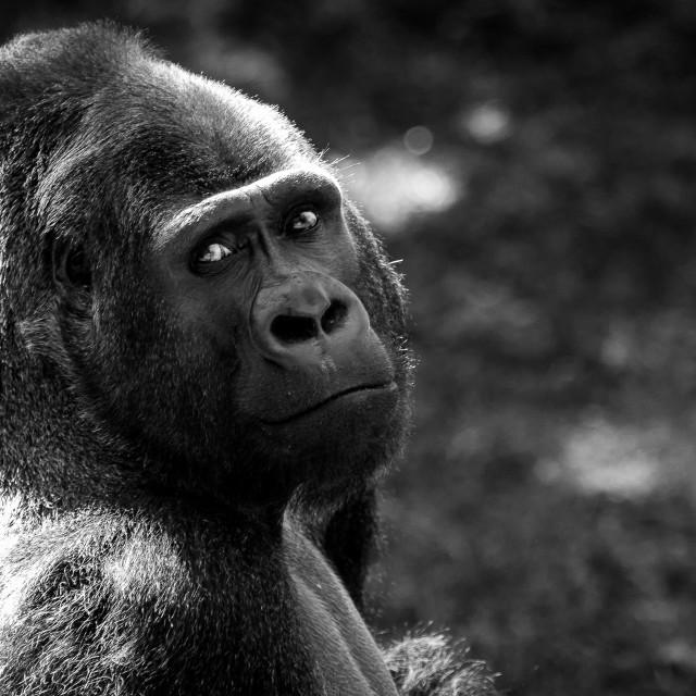 """Western Lowland Gorilla"" stock image"