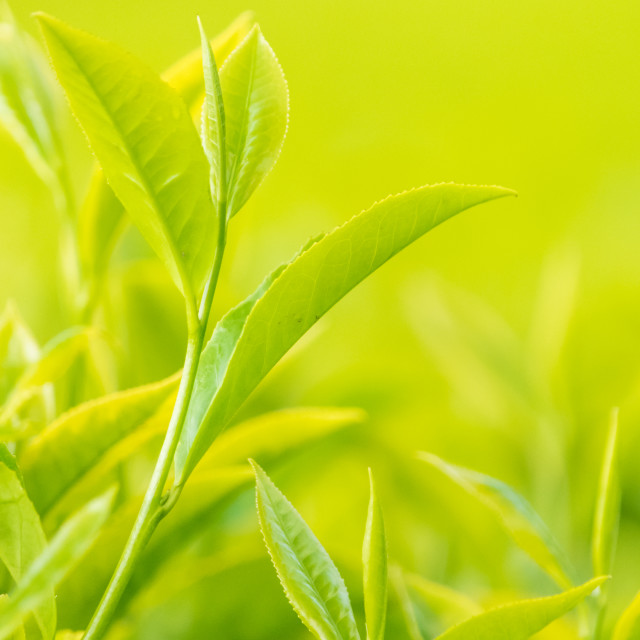 """Fresh Tea Leaves"" stock image"