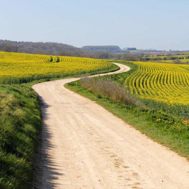 """Meandering Track Through Yellow Rape Seed Crops"" stock image"