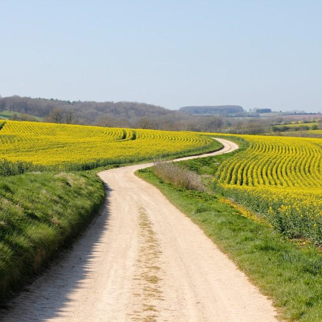 """Long Way - Winding Road Through Yellow Rape Seed Fields"" stock image"