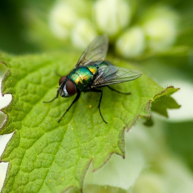 """""""Green-bottle fly"""" stock image"""