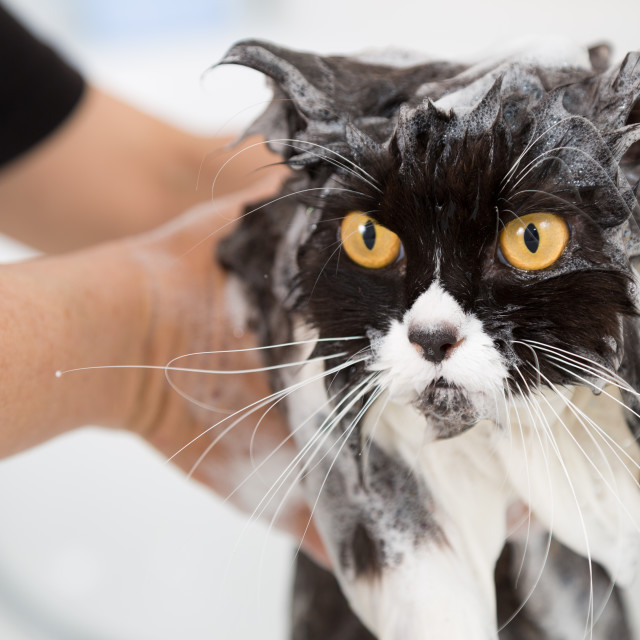 """Bathing a cat"" stock image"