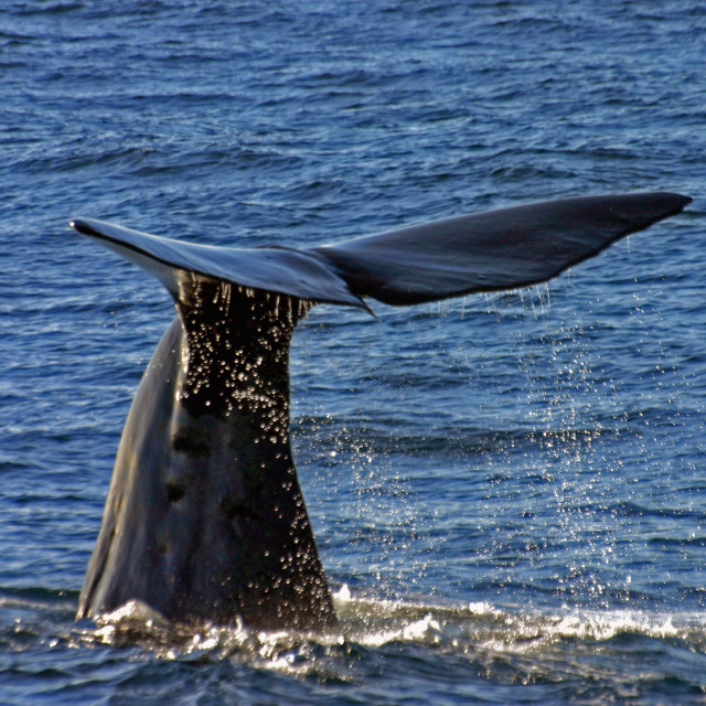 """""""Sperm Whale diving"""" stock image"""