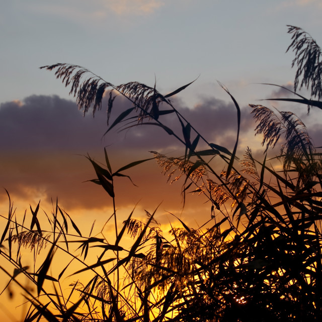 """""""sunset and grass"""" stock image"""