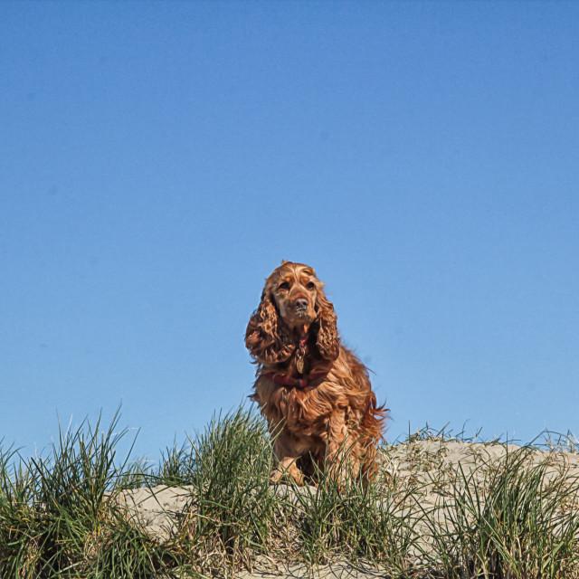 """Dog on a Sand dune"" stock image"