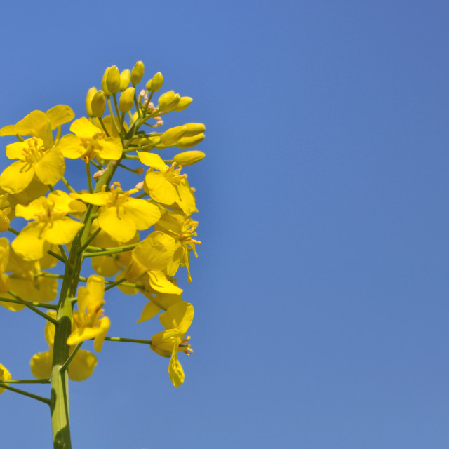 """rapeseed flower"" stock image"