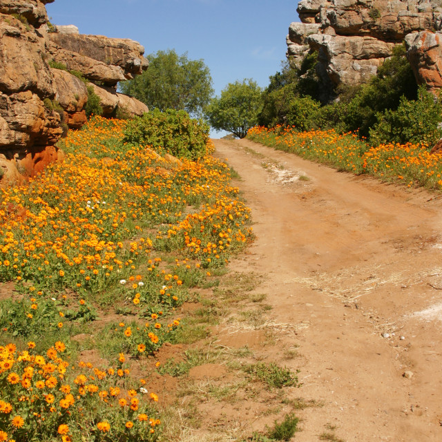 """Namaqualand Flowers"" stock image"