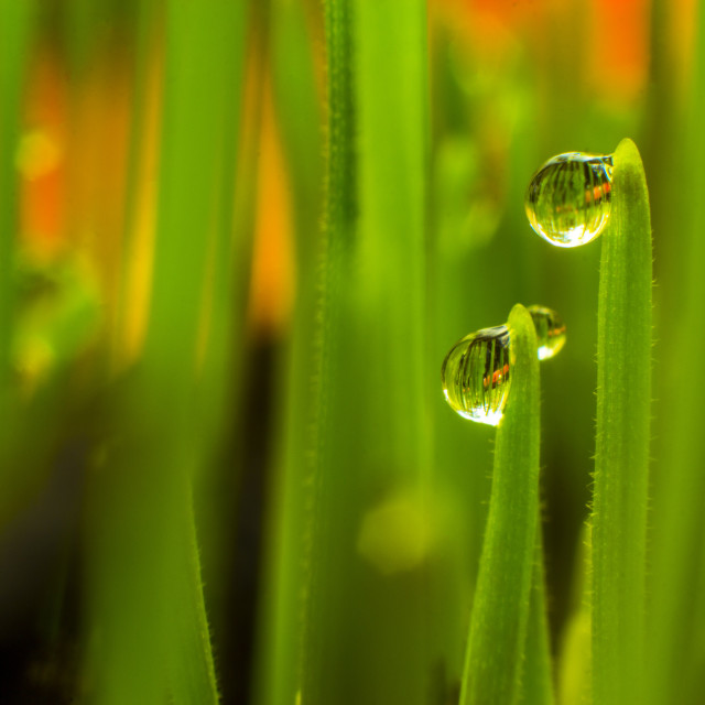 """Wheat grass with water droplets macro"" stock image"