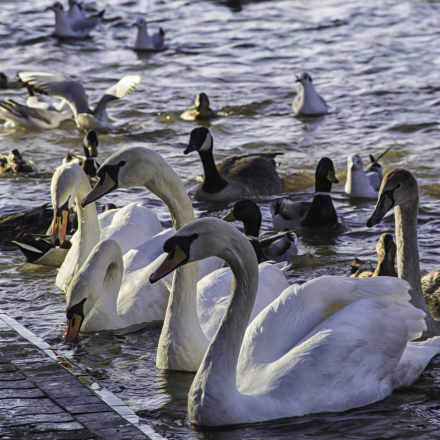 """Swans and Ducks"" stock image"