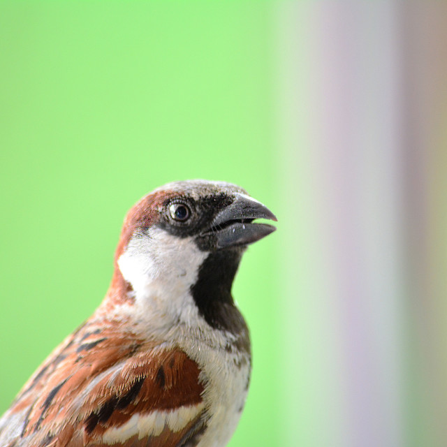 """Alert male sparrow"" stock image"