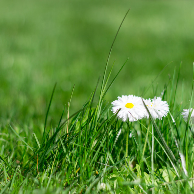 """""""Little camomiles on the lawn"""" stock image"""