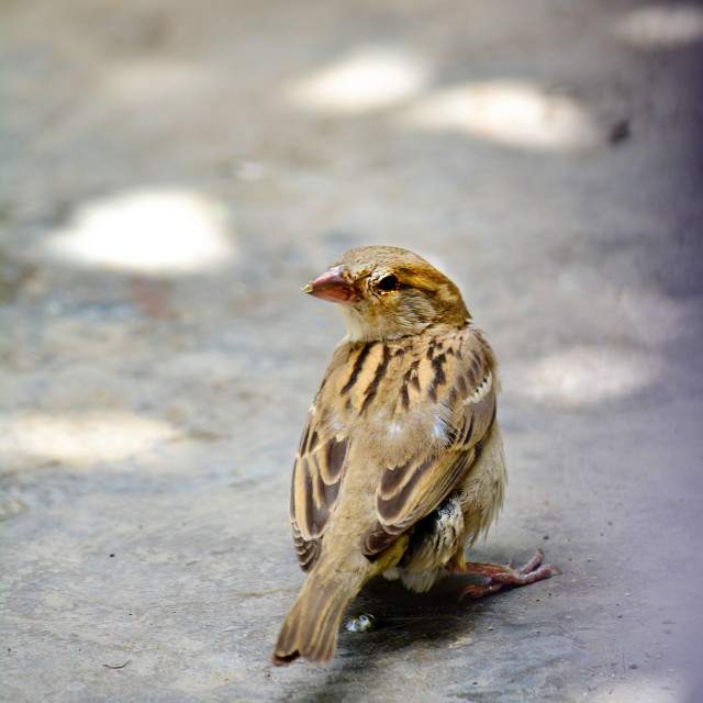 """Female House Sparrow"" stock image"