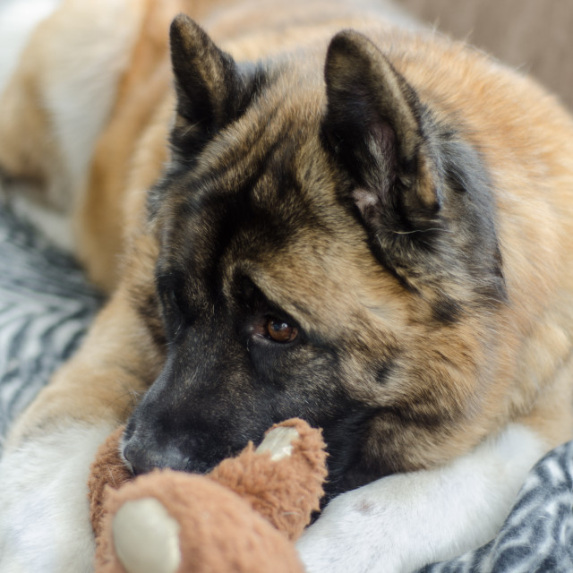 """American Akita and Teddy"" stock image"