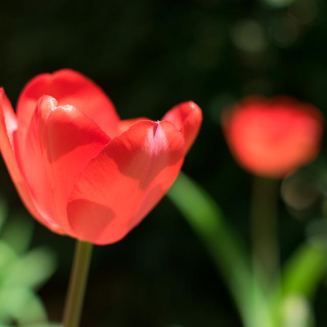"""Two Tulips"" stock image"