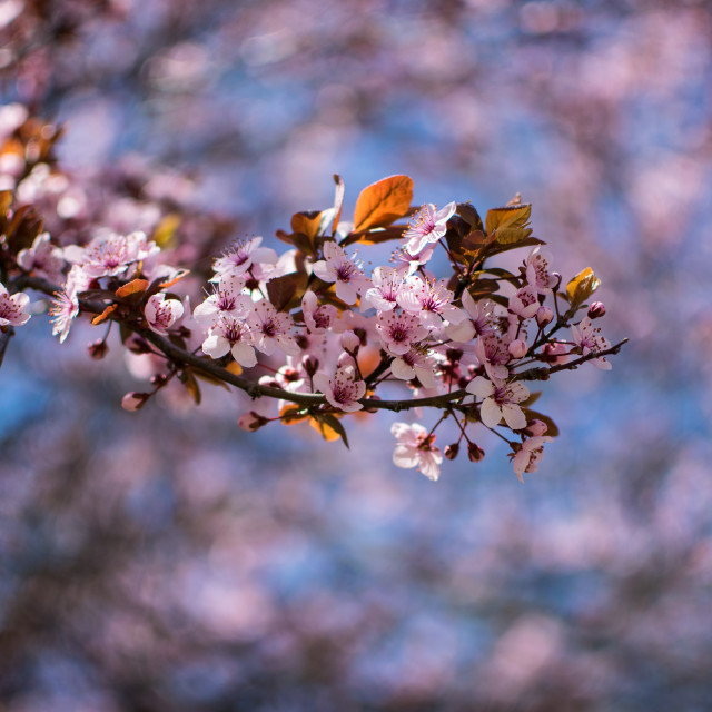 """Plum Tree Blossoms"" stock image"
