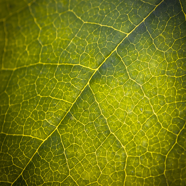 """Green leaf Macro"" stock image"