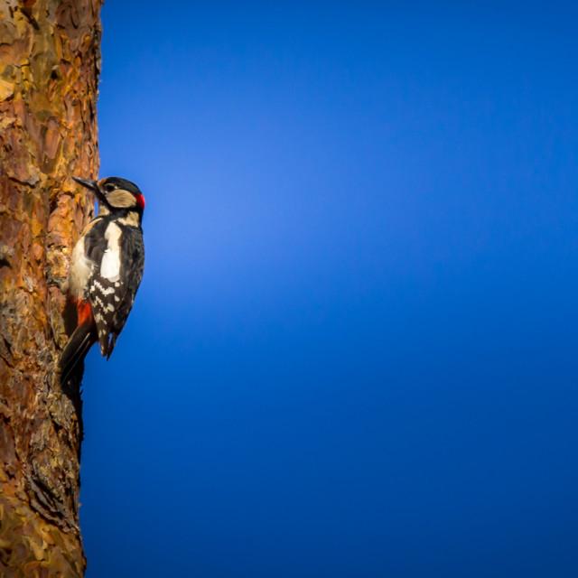 """""""Woodpecker - Buntspecht"""" stock image"""