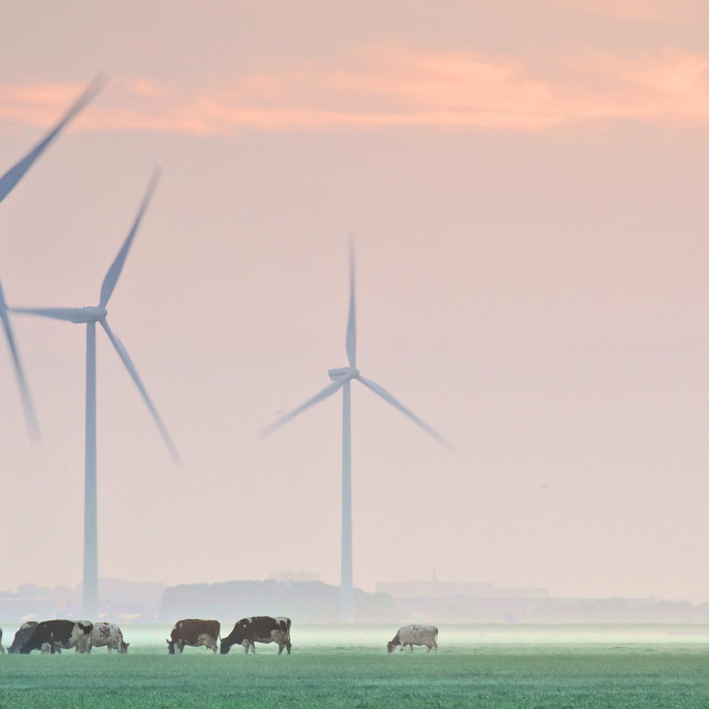 """""""Grazing cows in a misty meadow"""" stock image"""
