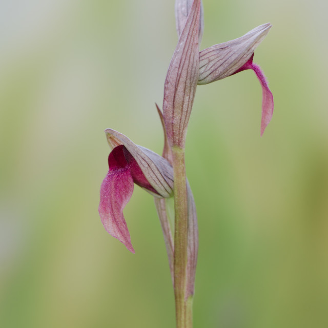 """""""Small-flowered Tongue Orchid, Serapias parviflora"""" stock image"""