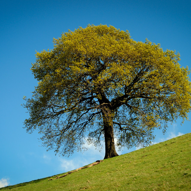 """Oak Tree"" stock image"