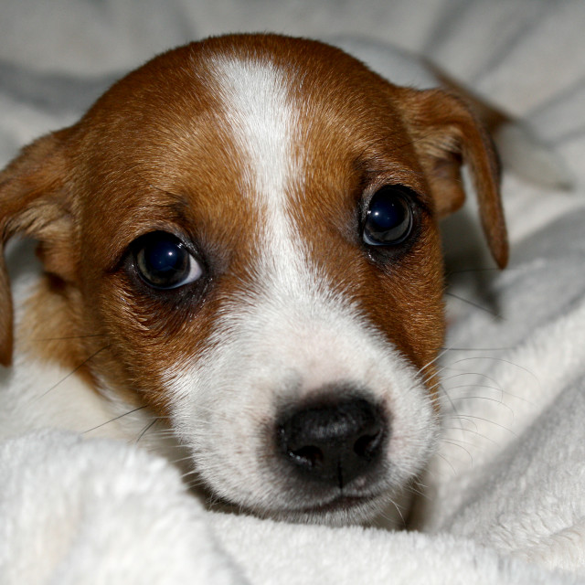 """Jack Russell puppy"" stock image"