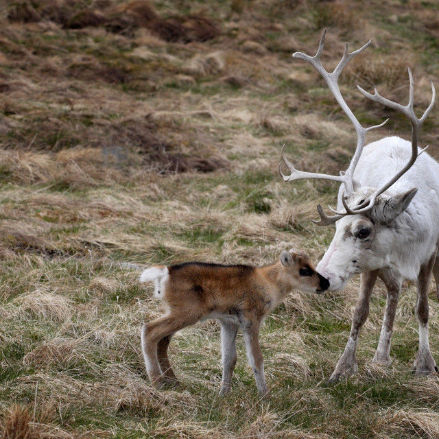 """REINDEER DOE and FAWN"" stock image"