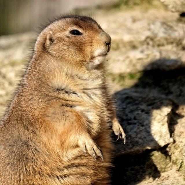 """Cute Prairie Dog"" stock image"