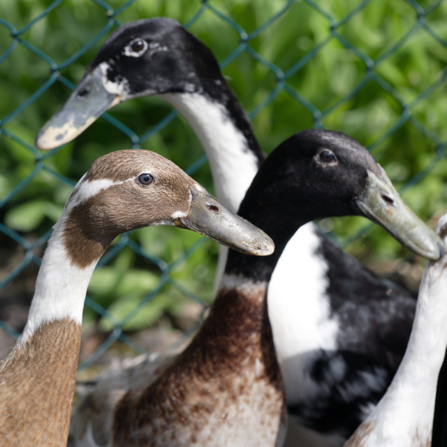 """INDIAN RUNNER DUCKS"" stock image"
