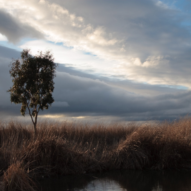 """Marsh Tree, Storm Brewing"" stock image"